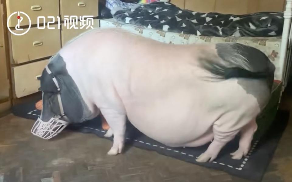 В Китае женщина завела мини-пига. Но оказалось, это настоящая свинья весом около 150 кг