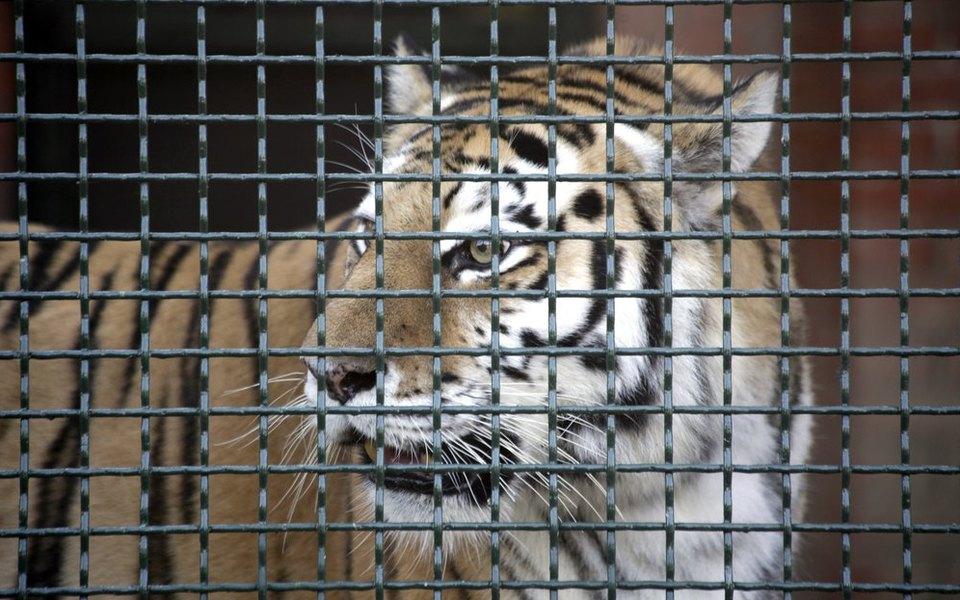 Тигрица заразилась коронавирусом в зоопарке Нью-Йорка. Это первый выявленный случай заражения животного в США