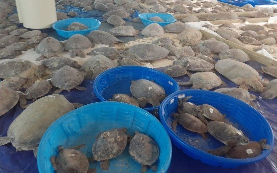 В Техасе волонтеры спасли более 4700 морских черепах