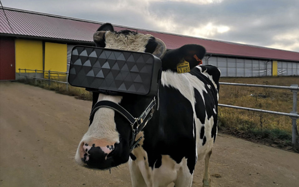 На подмосковной ферме на коровах протестировали VR-очки