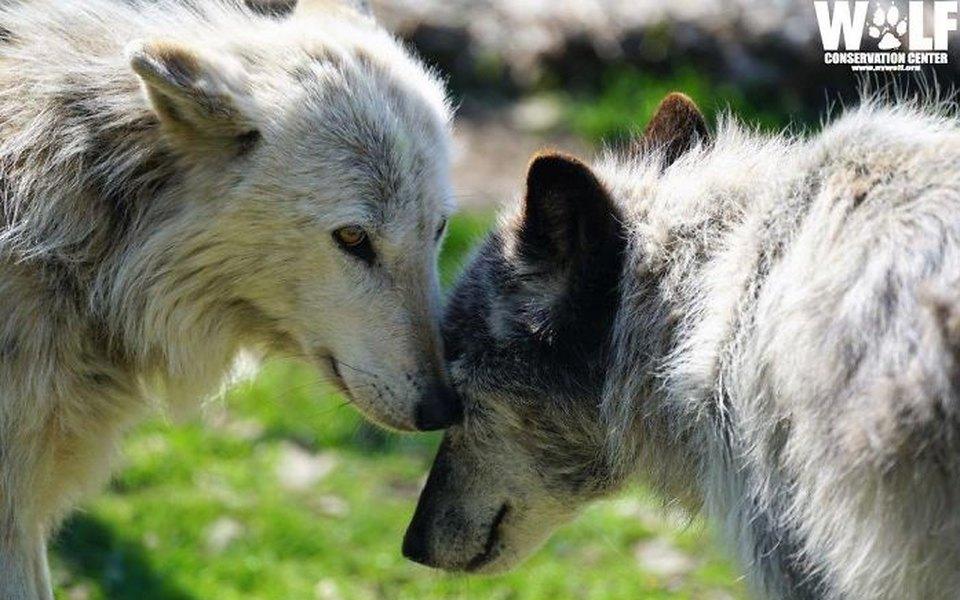 В интернете обсуждают двух необычайно ленивых волков изСША. Они спят, даже когда воют