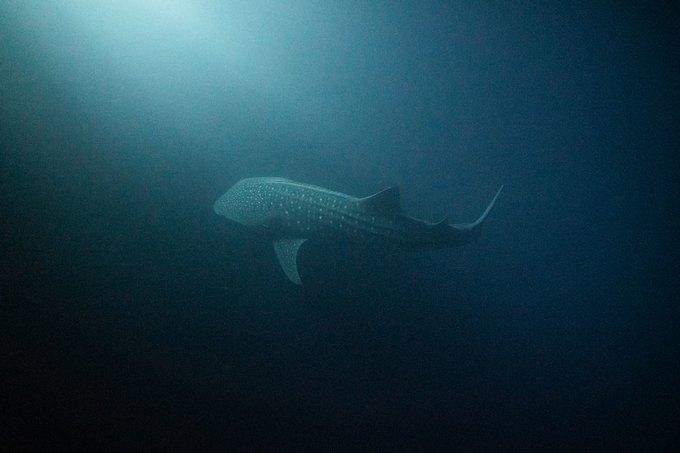 Бесстрашные летят наМальдивские острова, чтобы поплавать скитовыми акулами — крупнейшими извсех видов. Известна ли вам длина китовой акулы?