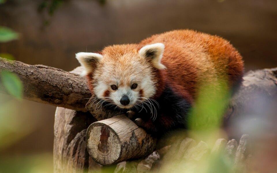 Красная панда вМосковском зоопарке нашла скрытую камеру. Иэто самое милое видео, которое вы увидите сегодня