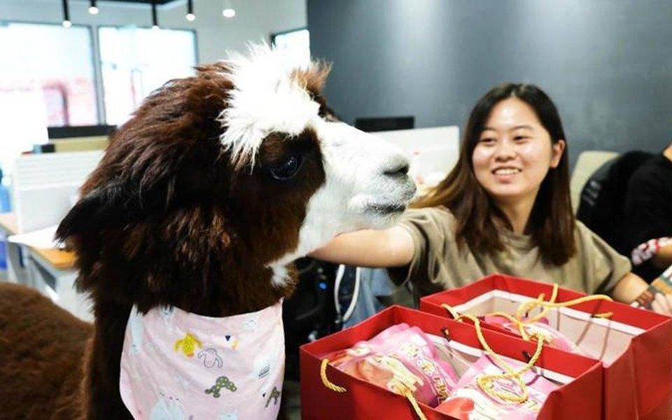 Офис китайской видеостудии «нанял» альпака, чтобы помочь сотрудникам расслабиться