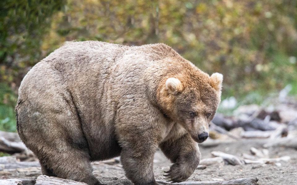 На Аляске выбрали самую толстую медведицу. Она получила титул «Королева тучности»