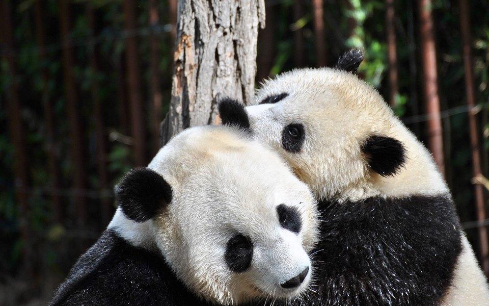 Процесс спаривания больших панд впервые удалось снять навидео вдикой природе